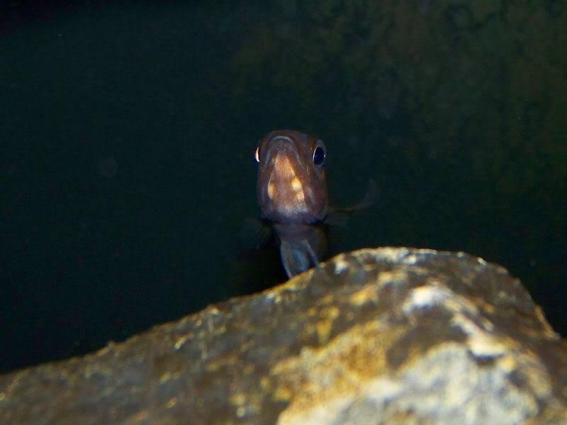 Paracyprichromis nigripinnis Holdigparacyp210-27