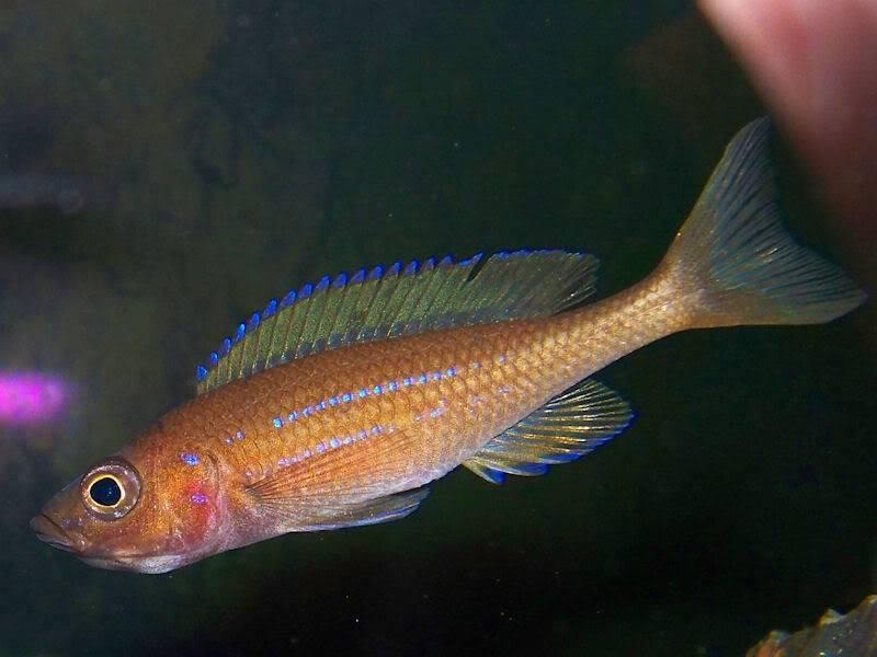 Paracyprichromis nigripinnis Holdigparacyp310-27