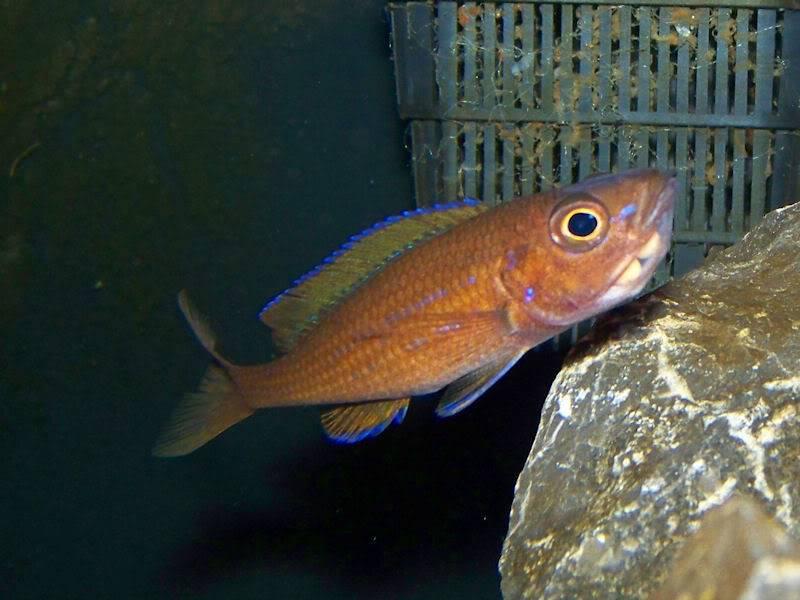 Paracyprichromis nigripinnis Holdingparacyp110-27