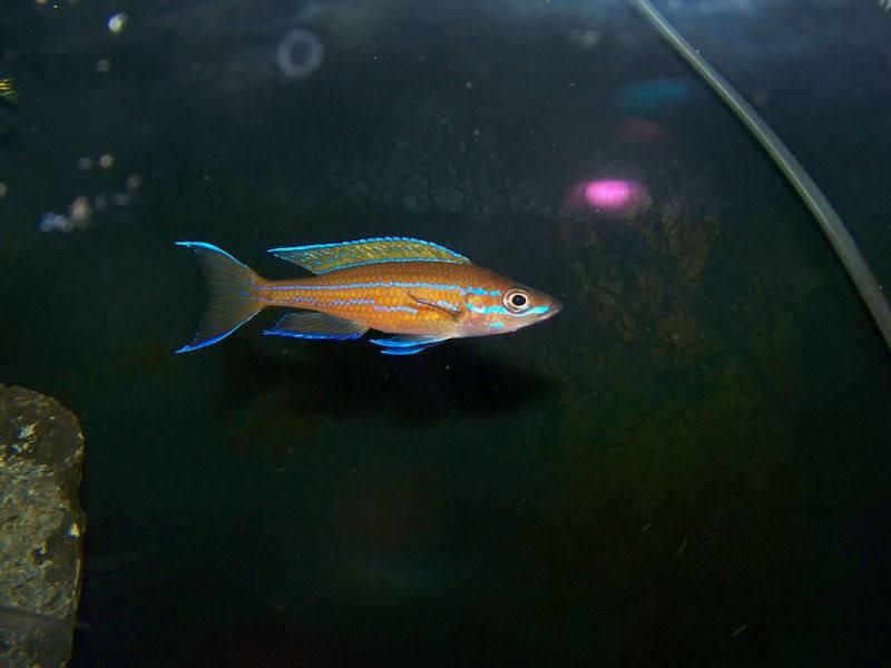 Paracyprichromis nigripinnis Paracyp10-09