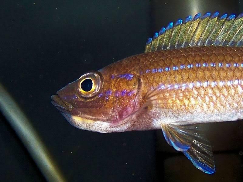 Paracyprichromis nigripinnis Paracyp111-09