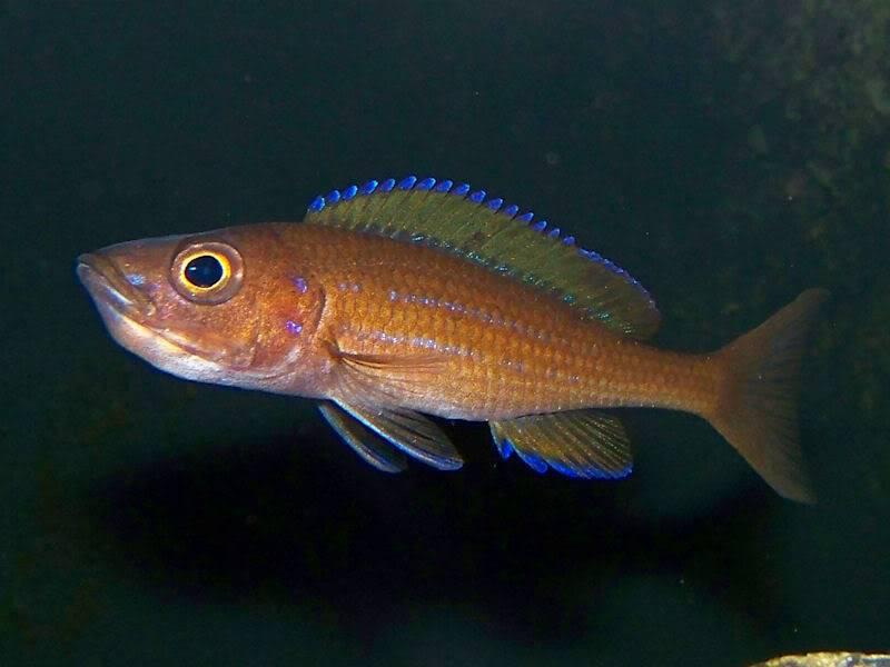 Paracyprichromis nigripinnis Paracyp211-09
