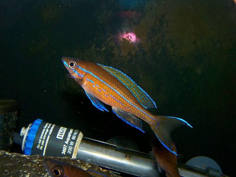 Paracyprichromis nigripinnis Paracyp310-09