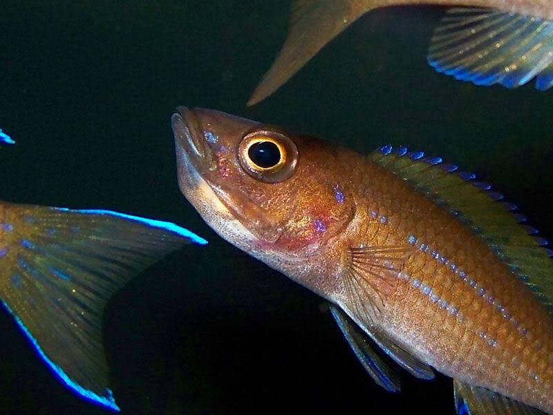 Paracyprichromis nigripinnis Paracyp311-09