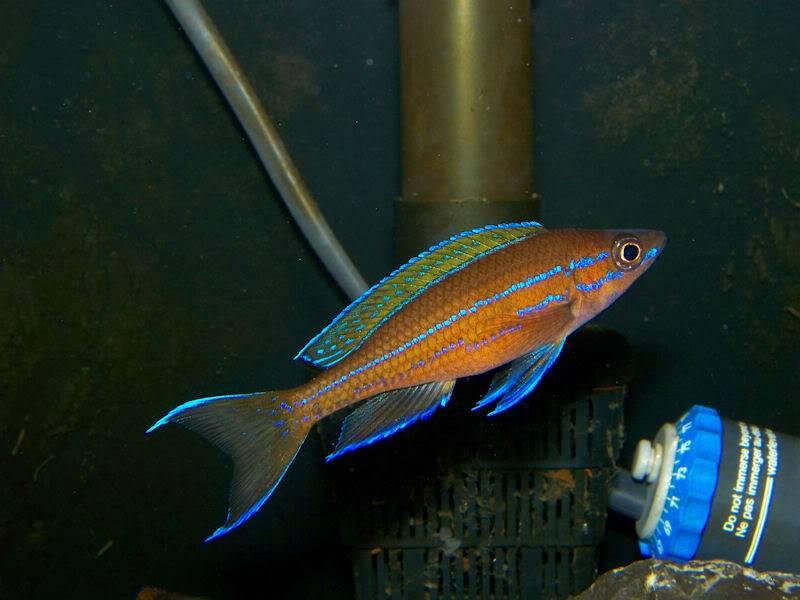 Paracyprichromis nigripinnis Paracyp410-09
