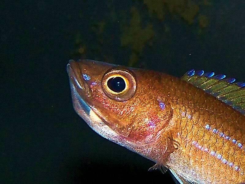 Paracyprichromis nigripinnis Paracyp411-09