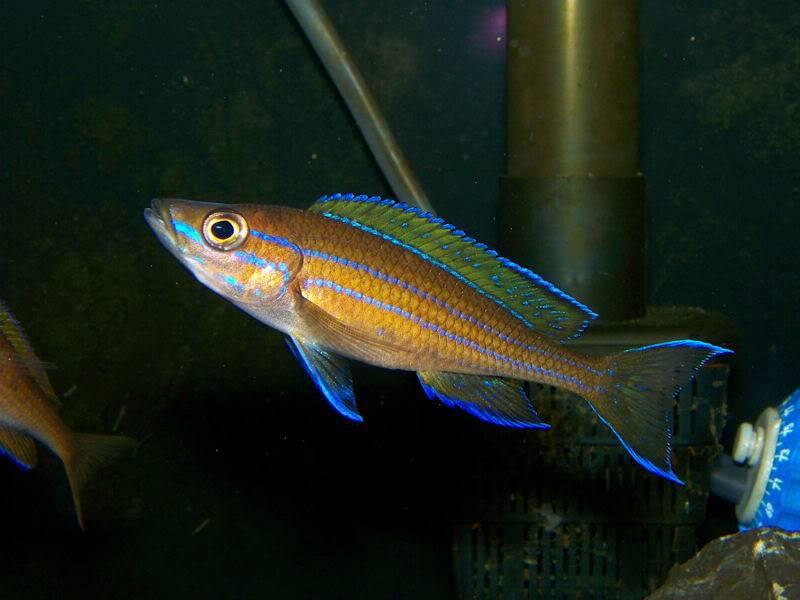 Paracyprichromis nigripinnis Paracyp510-09