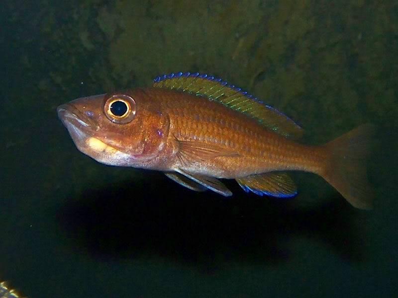 Paracyprichromis nigripinnis Paracyp511-09