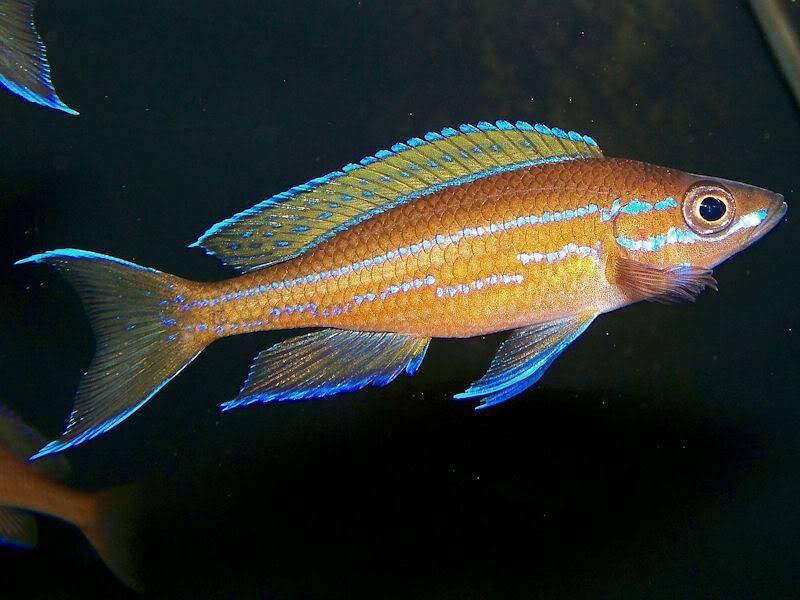 Paracyprichromis nigripinnis Paracyp611-09