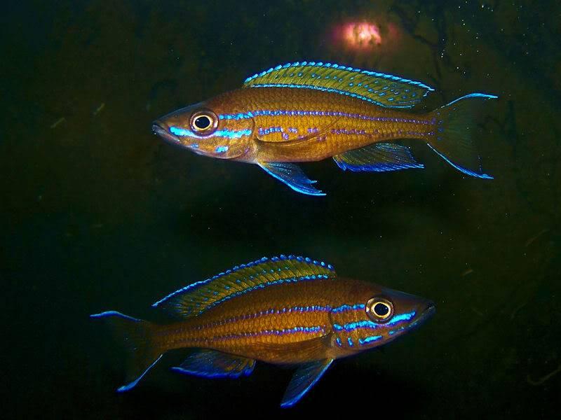Paracyprichromis nigripinnis Paracyp710-09