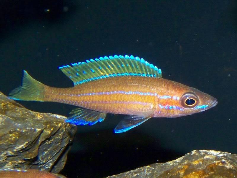 Paracyprichromis nigripinnis Paracyp8-1-091