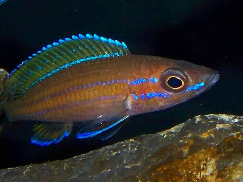 Paracyprichromis nigripinnis Paracyp8-1-093