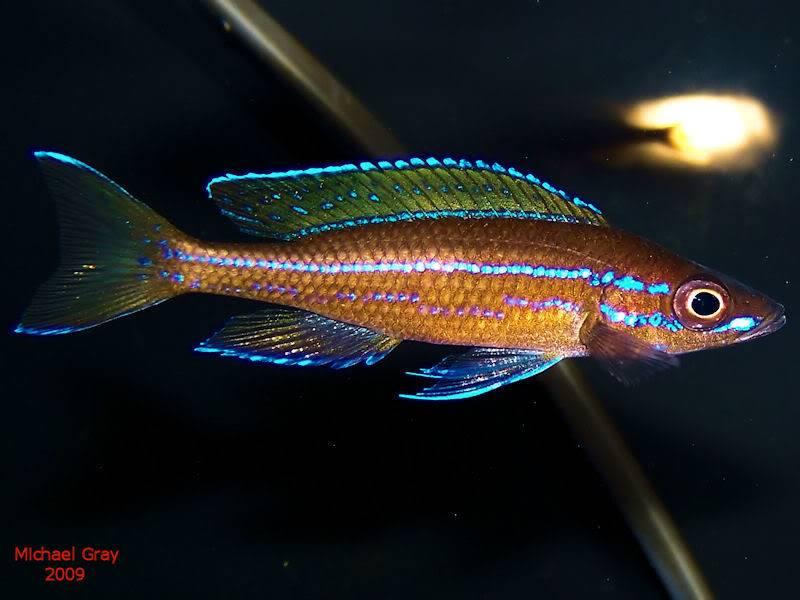 Paracyprichromis nigripinnis Paracyp8-10-091