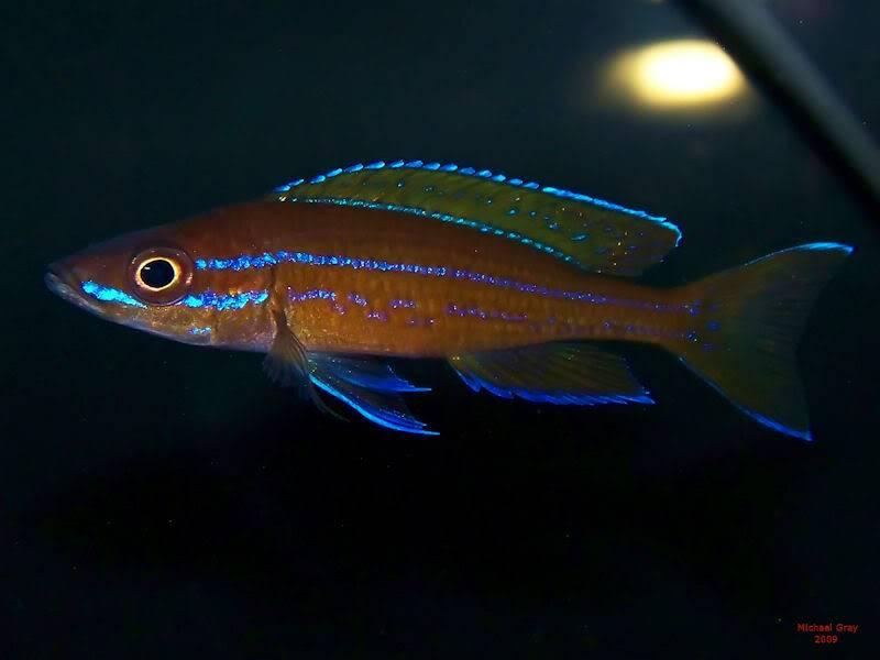 Paracyprichromis nigripinnis Paracyp8-10-092