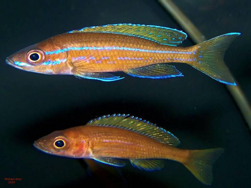 Paracyprichromis nigripinnis Paracyp8-10-093