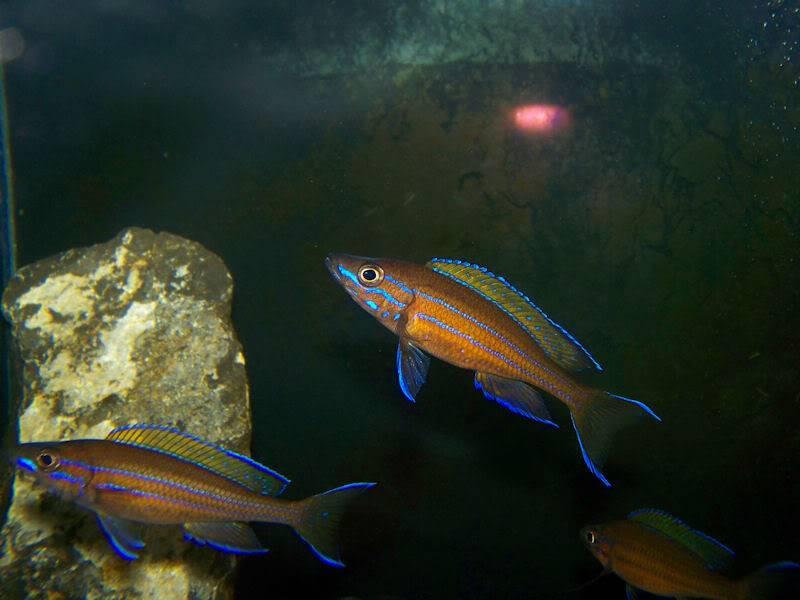 Paracyprichromis nigripinnis Paracyp810-09