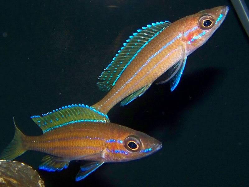 Paracyprichromis nigripinnis Paracyps8-1-092