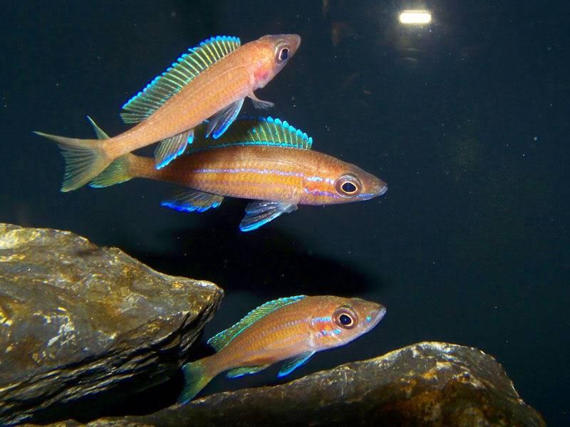 Paracyprichromis nigripinnis Paracyps8-1-093