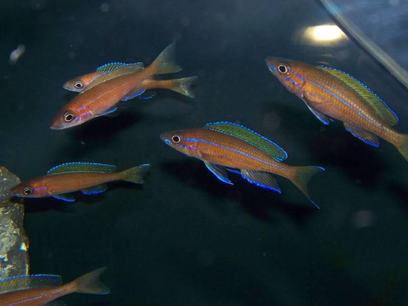 Paracyprichromis nigripinnis Paracyps8-8-091