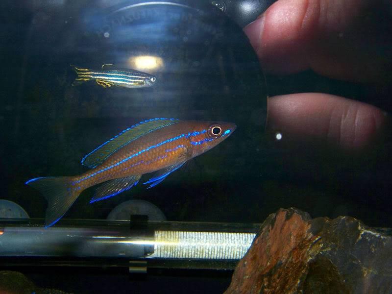 Paracyprichromis nigripinnis Reflextion