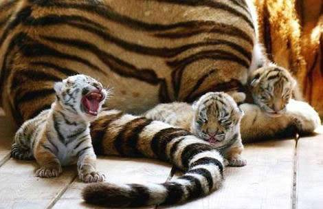 Cuteness!! Tigers-tiny-babies