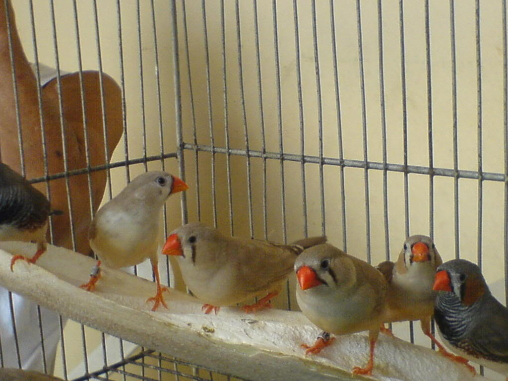 Zebra finch, Star finch, shaftail finch Fancier etc..... - Page 2 DSC01087