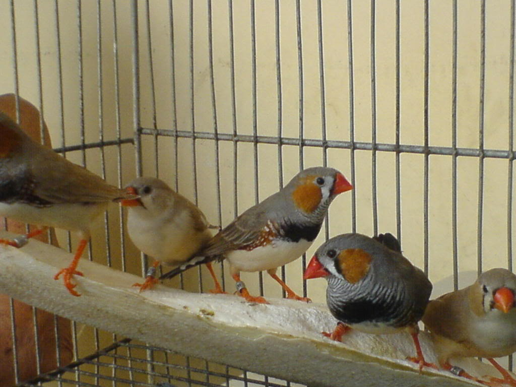 Zebra finch, Star finch, shaftail finch Fancier etc..... - Page 2 DSC01088