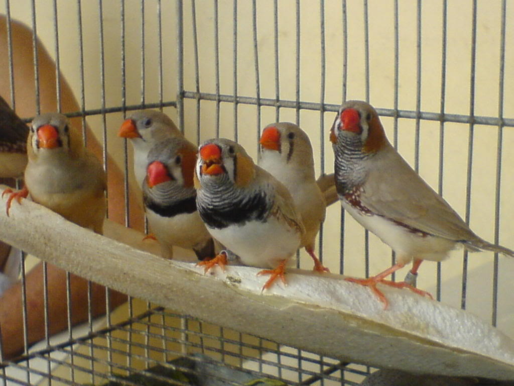 Zebra finch, Star finch, shaftail finch Fancier etc..... - Page 2 DSC01089