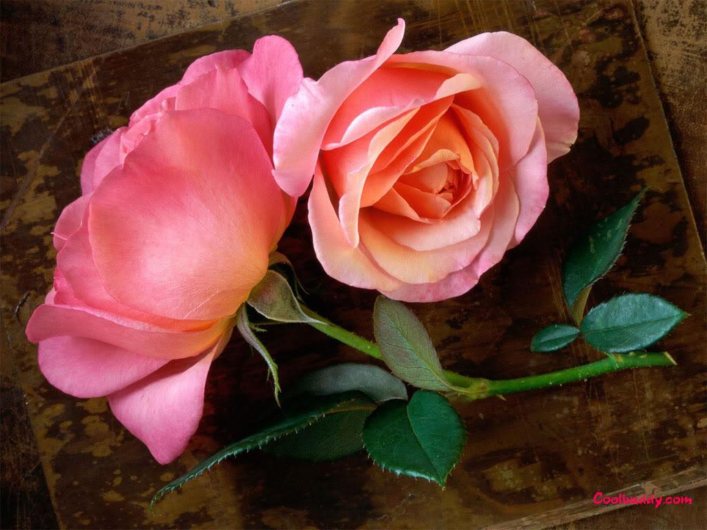 Đóa hoa hồng tặng người tôi iu!^_^ Hong