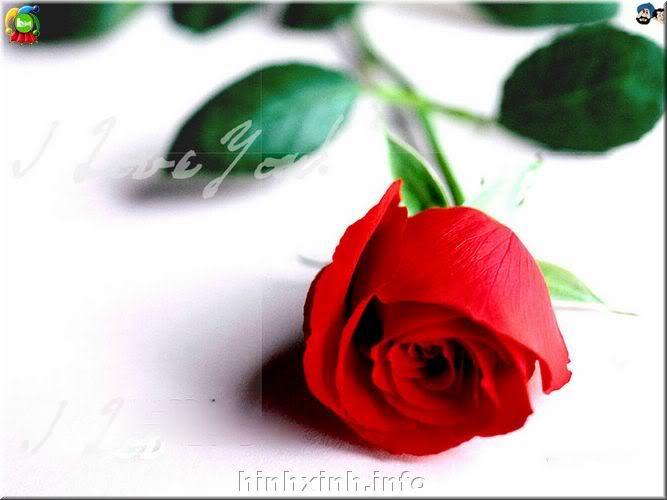 Đóa hoa hồng tặng người tôi iu!^_^ Lovt