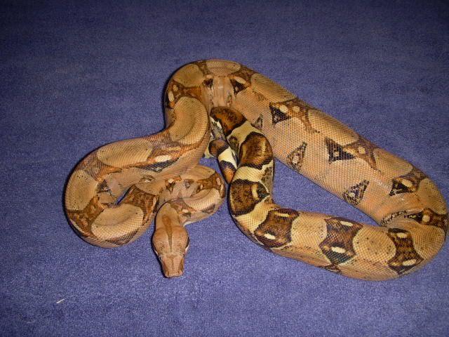 Billy - Male Pastel - '06 Snakes007