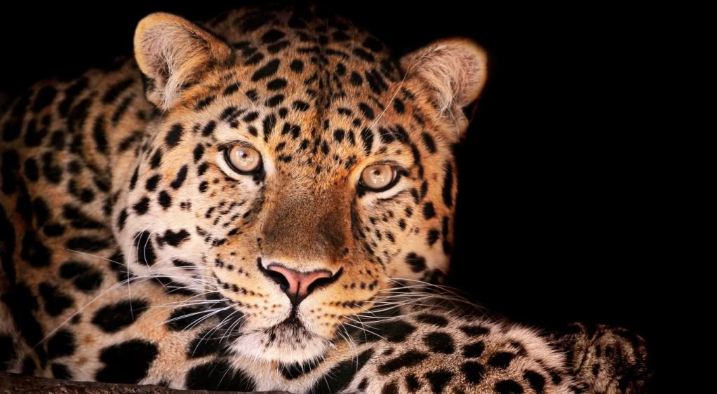 Big Cat - Kingdom in the clouds Leopard_zpsb01e1dbc