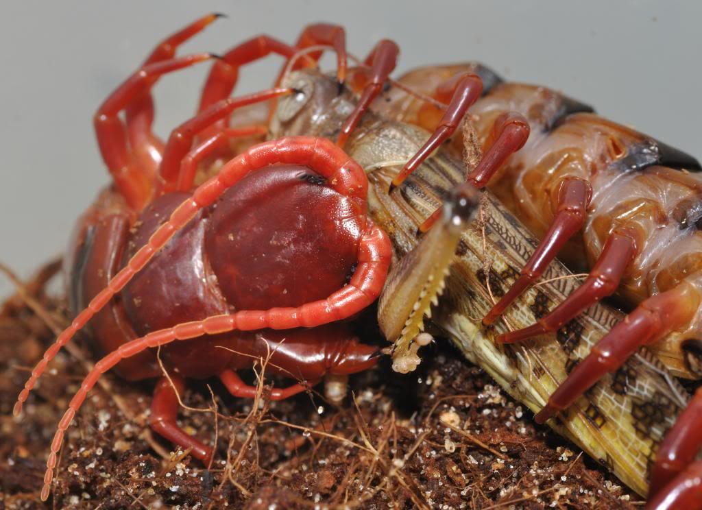 Scolopendra pictures