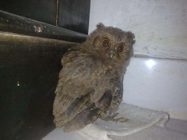 CELEPUK APA BARN OWL?? Image040