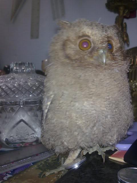 CELEPUK APA BARN OWL?? Image041