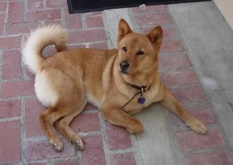 Pics of Your Pets Shiba3