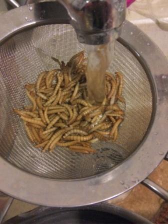 [Entomophagie] Elevage de ténébrions IMG_20151212_191949_zpslpvbythz