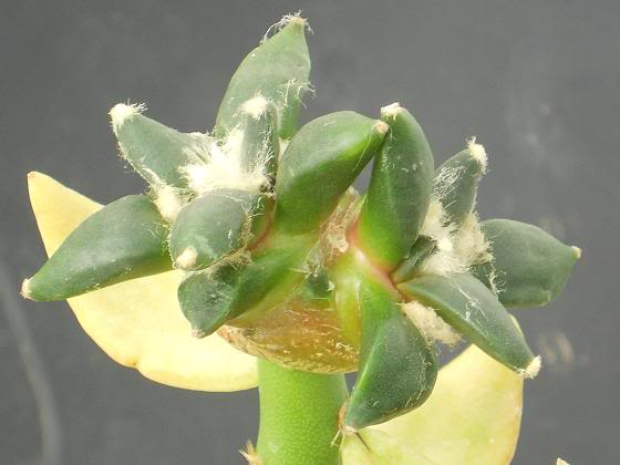 pereskiopsis the impatient mans best friend (image hev) Ariocarpusmix