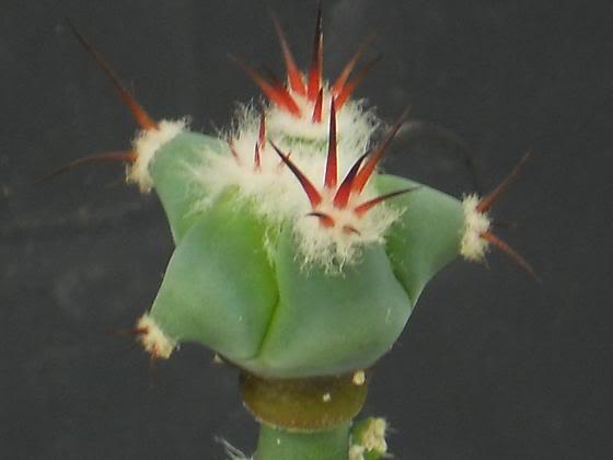 pereskiopsis the impatient mans best friend (image hev) Echinocactusplatycanthus