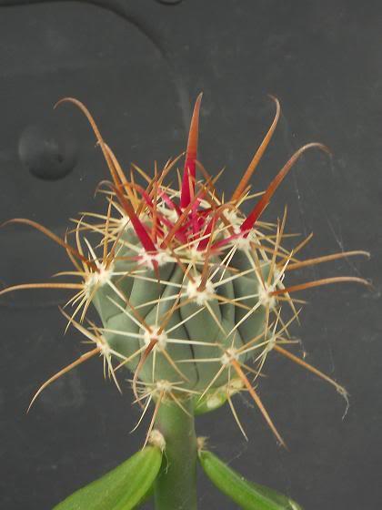 pereskiopsis the impatient mans best friend (image hev) Ferocactussplaplaz