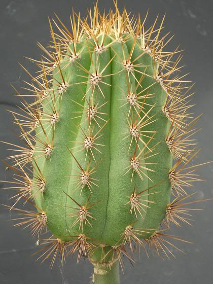 pereskiopsis the impatient mans best friend (image hev) Tmacrogonus