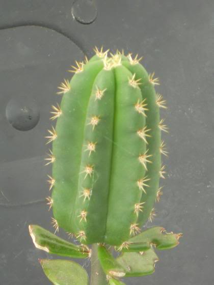 pereskiopsis the impatient mans best friend (image hev) Scopxsausage