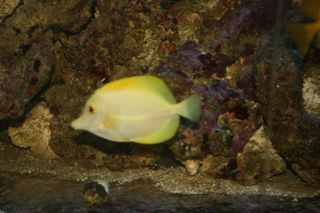 yellow tang not looking too yellow IMG_4190