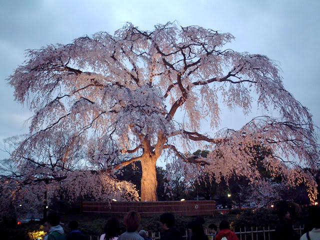 Festivalul florilor de cires -Sakura hanami Phatty_sakura