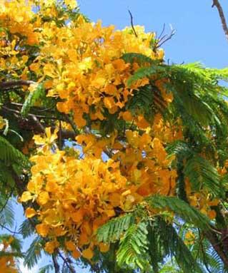 VƯỜN CÂY ĐV II - Page 47 Yellowpoincianaflowers_web