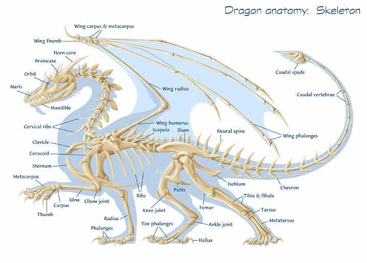 Mitos Naga DragonAnatomy01