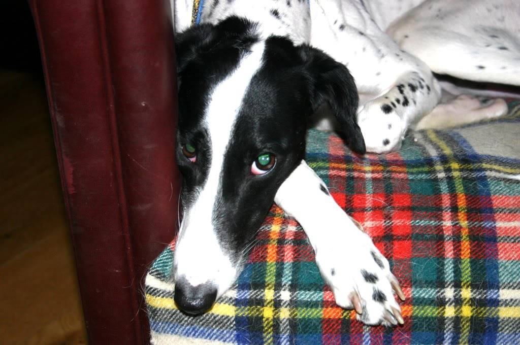 Fion - 18 month old Lurcher who needs an understanding home Fion1