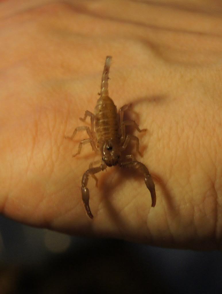 Heterometrus spinifer (2th instar) A494d0ed-2174-4517-b4d9-267dd897eda4_zpsa96c0dd1
