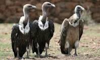 photo vultures_zps18f7b529.jpg