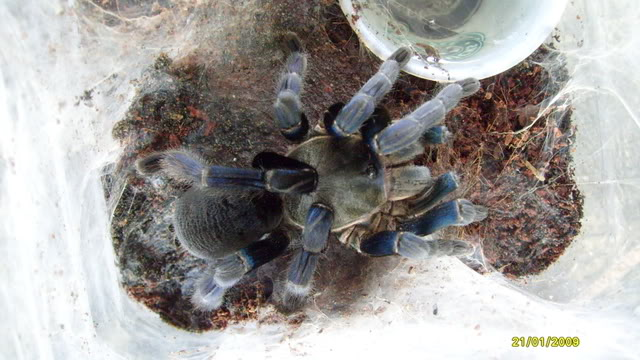 Your Tarantula and Spider pix.... - Page 3 S7302495